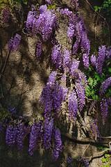 (placeinsun) Tags: porto portugal serralves wisteria flowers spring purplegreen