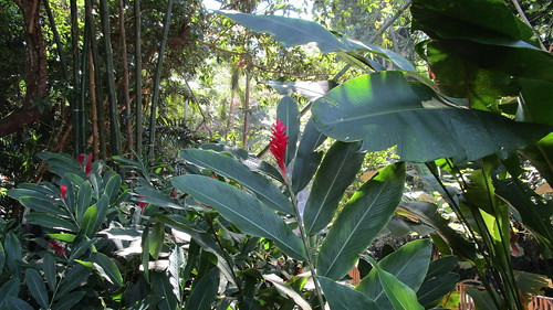 Jamaica -  Ocho Rios: green Paradise - Jungle @ park around Dunn's River Falls