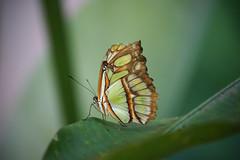 Iguacu butterfly 2 (peter_a_hopwood) Tags: butterfly brazil sony a99 december 2019 foz iguacu