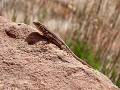 Liz - In Explore (Meryl Raddatz) Tags: lizard
