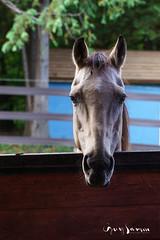 Portrait d'un cheval (guysamsonphoto) Tags: guysamson horse cheval