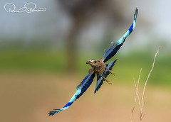 36243152s (TARIQ HAMEED SULEMANI) Tags: sulemani tariq tourism trekking tariqhameedsulemani winter wildlife wild birds nature nikon