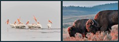 On Exhibit Now (CindyFullwiler Nature Photography) Tags: bison forst early morning yellowstone hayden valley white pelicans 3 crabs beach clallam