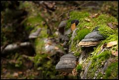Tree Mushroom (Eklandet) Tags: closeup closeupphotography fungus image moss mushroom mushrooms tree forest wood treemushroom
