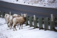 What ewe looking at? (chrisroach) Tags: alberta mountains countries canada mountaingoat snow wildlife rockies exshaw winter