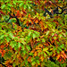 fall_colours_leaves_01_8780075259_o