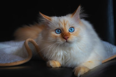 I'll have to stay alone at home tomorrow ? (FocusPocus Photography) Tags: dragon katze kater cat chat gato tier animal pet blaueaugen blueeyes haustier tofu decke blanket