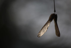 Seed (gripspix) Tags: stellagon isco projectionlens projektionsobjektiv 128100mm 20190127 nature natur test probe plant pflanze acer ahorn seeds samen flugfrüchte