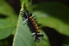 Milkweed Tussock Caterpillar (Euchaetes egle) (JHousePhotos) Tags: tussock arkansas moths caterpillars erebidae