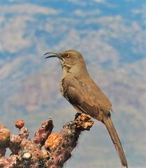 Curve-Billed Thrasher (Ruby 2417) Tags: thrasher bird wildlife nature brown desert tucson arizona cactus