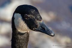Canada Goose (Ashley Middleton Photography) Tags: coatewatercountrypark swindon animal bird canadagoose england europe goosegeese snow unitedkingdom weather wiltshire