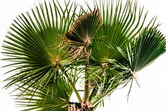 Palm Bouquet, Manhattan Beach 9/28/07 (Sharon Mollerus) Tags: california xss manhattanbeach places palmtree ca