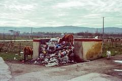 Freegans (hiphopmilk) Tags: copyright©jaredyehwooehmoehfilms konica offroad 現場監督 zoom 35mm 135film film analog analogue jaredyeh hiphopmilk kodak travel china sichuan aba hongyuan qiongxi qiongxizhen tibetan longrang garbage trash rubbish waste cattle dumping ground freegan