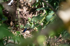 DSC_5587 (stacyjohnmack) Tags: costarica frog