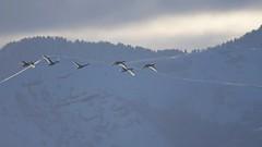Tundra swans (Cygnus columbianus) along the Wasatch range (rangerbatt) Tags: tundraswans cygnuscolumbianus swans swansinflight waterfowl utahwildlife wildutah greatsaltlakewetlands nikon d7500 sigma150600mmsports wasatchmountains