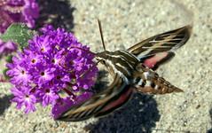 Hummingbird Moth (Hyles lineata) (J.Thomas.Barnes) Tags: desert wildflowers