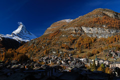 Matterhorn (Zermatt, Switzerland) - the forest in autumn color surrounding the village of Zermatt. (baddoguy) Tags: above alpenglow autumn leaf color beauty in nature below blue cityscape clear sky cold temperature image dawn europe european alps famous place focus on foreground forest gold colored horizontal horned international landmark landscape scenery local matterhorn mountain ridge national no people outdoors photography pinnacle peak pyramid shape scenics snow snowcapped sunlight swiss switzerland tip touching tourism town travel destinations valais canton village zermatt
