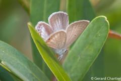 photo-006836.jpg (GeeC) Tags: lycaenidae animalia cambodia euchrysopscnejus nature euchrysops lepidoptera tatai kohkongprovince insecta arthropoda polyommatinae papilionoidea butterfliesmoths gramblue truebutterflies
