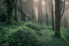 Ivy Dress (jorgeverdasca) Tags: trees woodland forest mist fog goth ivy nature sintra portugal