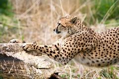 25042018-DSC_7183 (Coco M.) Tags: d7100 70200 nikon sigma parcdesfélins félin bigcat cat zoo animauxsauvages animal guépard