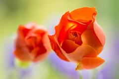 rose 4719 (junjiaoyama) Tags: japan flower plant rose orange spring macro bokeh