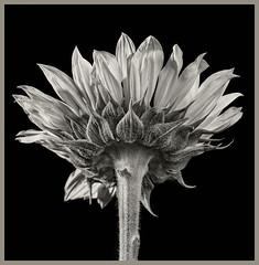 Sunflowers #1 2019 (hamsiksa) Tags: plants flora sunflowers helianthus asteraceae flowers blooms blossoms studioshot blackwhite botanicals botany plantsex