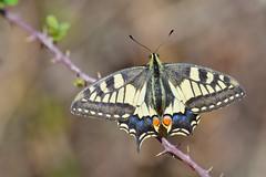 Papilio machaon (jotneb) Tags: natureza papilionidae animais insectos borboletas vidaselvagem arlivre
