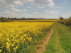 Golden Fields (5) Looking to the Hill's (Kev's.Pix) Tags: nunthorpe northyorkshire fields oilseedrape countryscene countryside field flowers
