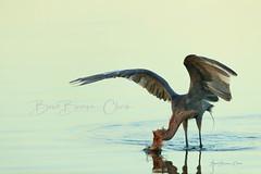 Assuming the Pose (Beve Brown-Clark) Tags: reddishegret egret waterfowl wildlife wader bird drunkinsailor bevebrownclark nature fishing florida usa