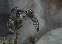 Northern Hawk Owl...#52 (Guy Lichter Photography - 4.7M views Thank you) Tags: owlnorthernhawk canon 5d3 canada manitoba winnipeg wildlife animal animals bird birds owl owls waldo