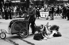NYC Tartan Day Parade (neilsonabeel) Tags: nikonn90s nikon nikkor film analogue blackandwhite tartanday parade newyorkcity manhattan streetphotography street dog dogs animal monochrome