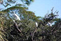 Egrets (Fido Cat) Tags: nature frippisland southcarolina birds storks woodstork herons greenheron midnightheron egret
