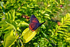 Purple Sapphire !! (Lopamudra !) Tags: lopamudra lopamudrabarman lopa india forest jayanti duars dooars butterfly purple sapphire purplesapphire nature colour color colours colourful westbengal wilderness