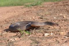 Eastern Brown Snake (Pseudonaja textilis) (shaneblackfnq) Tags: eastern brown snake pseudonaja textilis shaneblack reptile elapid dangerous venomous mt mount molloy fnq far north queensland australia tropics tropical sugar cane farm