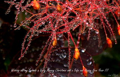 MERRY CHRISTMAS AND A HAPPY NEW YEAR !!! (Lani Elliott) Tags: drops droplets smokebush homegarden bokeh christmas macro macrounlimited red bright radiant