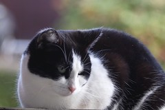 Nyan-Ko      H. Roussel Stylor  F=180   1 : 6.3 (情事針寸II) Tags: 動物 高野ニャンコ 猫 bokeh oldlens animal cat chat triplet hrousselstylorf180163