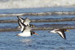 K32P0052c  Oystercatchers, Titchwell Beach, November 2018 (bobchappell55) Tags: titchwell norfolk wild bird wildlife nature oystercatcher wader haematopusostralegus