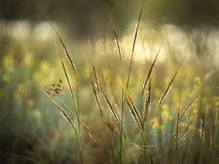 Simple beauty (Petra Ries Images) Tags: helios10353mmf18 grass gras manualfocus manuallens bokeh refittedlens yellow eveninglight backlight backlit swirlybackground
