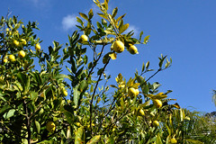 lemons (greenelent) Tags: manhattanbeach ca california lemon fruit