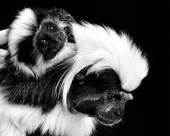 Monkey N00069 Dalton Wildlife Park D210bob _DSC6708 (D210bob) Tags: monkey n00069 daltonwildlifepark d210bob dsc6708 nikond90 naturephotography naturephotos nikon wildlifephotography cumbria