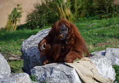Sumatran Orangutan (Pongo abelii) (Seventh Heaven Photography) Tags: sumatran orangutan pongo abelii pongoabelii primate animal mammal chester zoo cheshire nikond3200 emma kesuma puluh baby female rocks grass