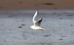 Gull (Liam Waddell) Tags: bird sky ayrshire irvine scotland river garnoch gull water sand