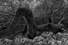 contorsioni (Paolo Dell'Angelo (JourneyToItaly)) Tags: baunei sardegna italia blackandwhite nature gulfoforosei ogliastra suporteddu supramontedibaunei