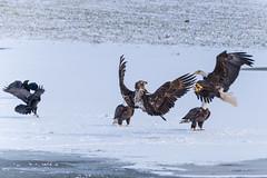 BACK FLIP! (Wade.J.) Tags: american bald eagle flight fight raptor bird prey flip winter snow ice crow raven pond lake nikon