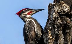 Pileated woodpecker (idvisions) Tags: wildlife wetlands wetland explore thewonderfulworldofbirds outdoor interestingness bird birds pileatedwoodpecker pileatedwoodpeckers woodpecker woodpeckers canada canoneos7d