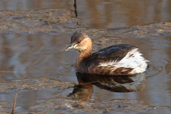 Little grebe (ctrolleneos) Tags: canon80d 100400 littlegrebe rspb titchwell norfolk