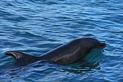 Dolphin (pontla) Tags: dolphin jamaica montego bay montegobay