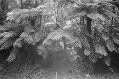 Tree ferns (Matthew Paul Argall) Tags: canonsnappy20 fixedfocus 35mmfilm blackandwhite blackandwhitefilm kentmere100 100isofilm fern plant plants treefern
