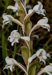 Satyrium buchananii (zimbart) Tags: angiosperms asparagales flora malawi nyikaplateau orchidaceae satyrium monocots white africa satyriumbuchananii