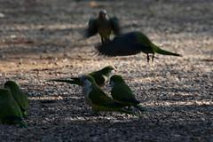 Posing (carlo612001) Tags: uccelli pappagalli pappagallini parrocchetti birds parrot parrots
